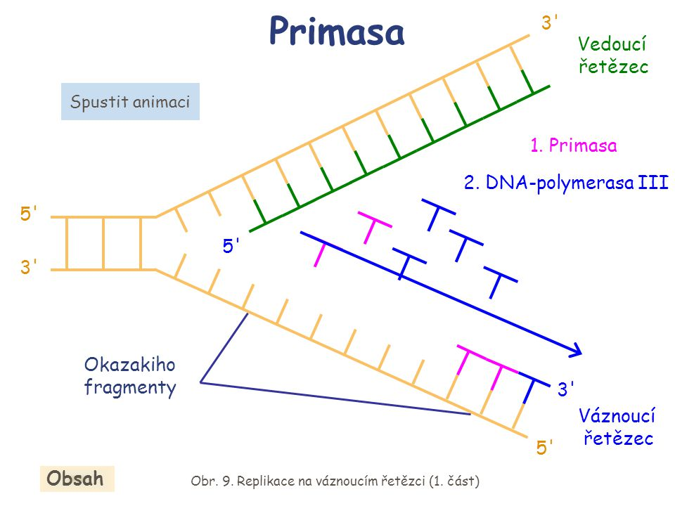 Primasa Váznoucí řetězec 5' 3' 5' 3' Okazakiho fragmenty 1. Primasa 2. DNA-polymerasa III Obr. 9. Replikace na váznoucím řetězci (1. část) Obsah Spust
