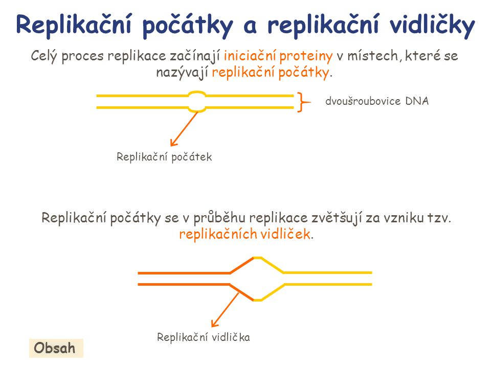 Replikační vidličky V replikačních vidličkách jsou navázány proteiny replikačního aparátu, které se pohybují ve směru replikace a rozvíjejí dvoušroubovicovou strukturu za současné syntézy nového řetězce.