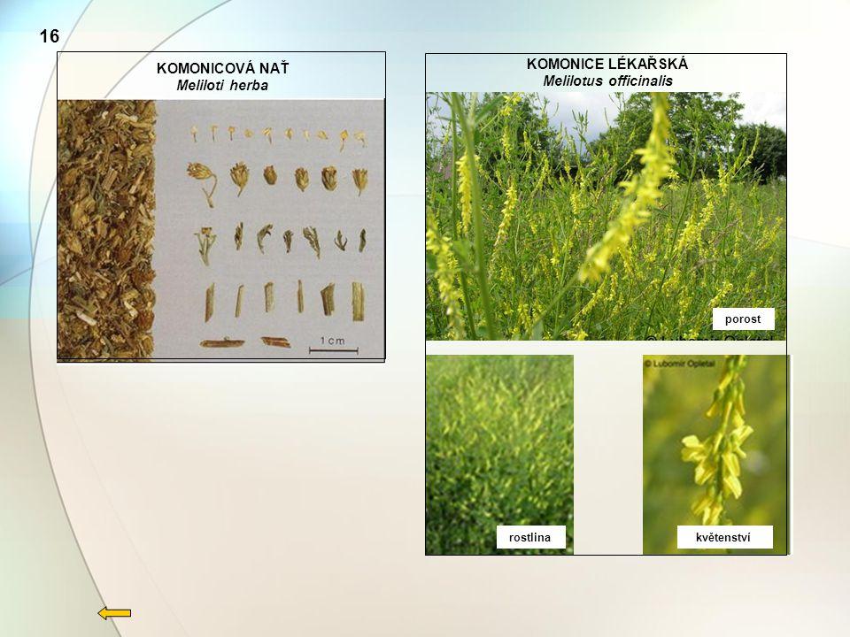 KOMONICOVÁ NAŤ Meliloti herba rostlina květenství porost KOMONICE LÉKAŘSKÁ Melilotus officinalis 16