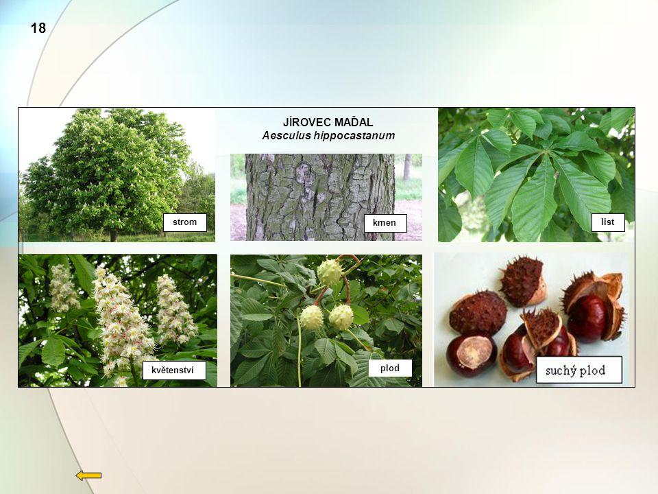 JÍROVEC MAĎAL Aesculus hippocastanum strom kmen list květenství plod 18
