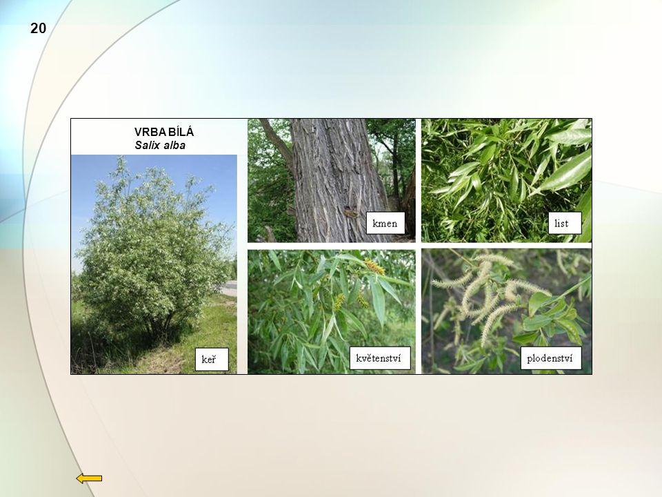 VRBA BÍLÁ Salix alba 20