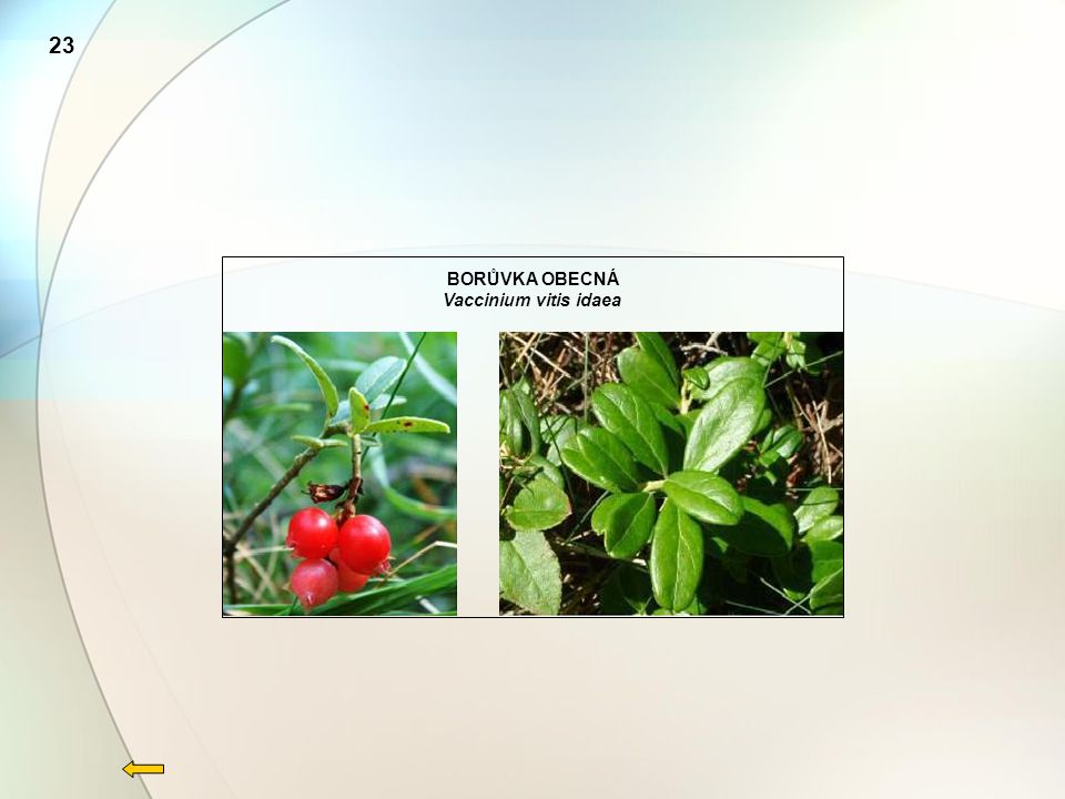 BORŮVKA OBECNÁ Vaccinium vitis idaea 23
