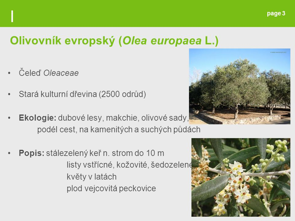 Page 14 OLIVOVÝ OLEJ HARVESTED OLIVES READY FOR PROCESSING