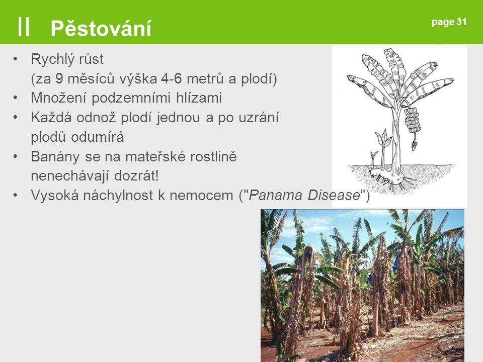 page 31 Rychlý růst (za 9 měsíců výška 4-6 metrů a plodí) Množení podzemními hlízami Každá odnož plodí jednou a po uzrání plodů odumírá Banány se na m