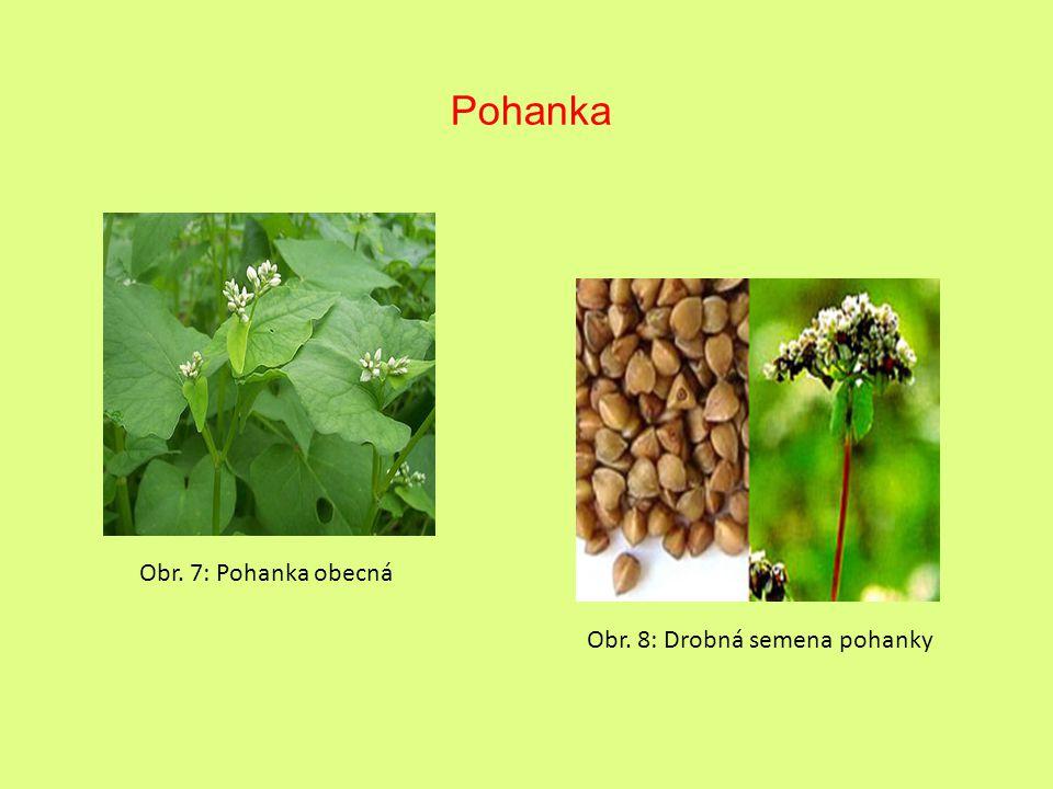 Pohanka Obr. 7: Pohanka obecná Obr. 8: Drobná semena pohanky