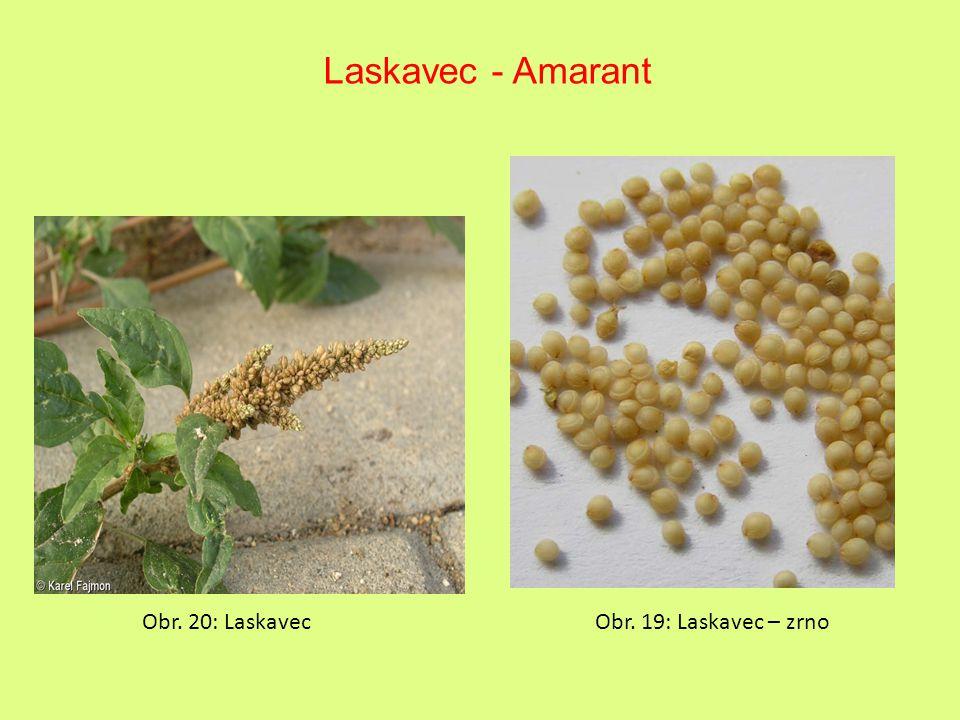 Laskavec - Amarant Obr. 20: LaskavecObr. 19: Laskavec – zrno