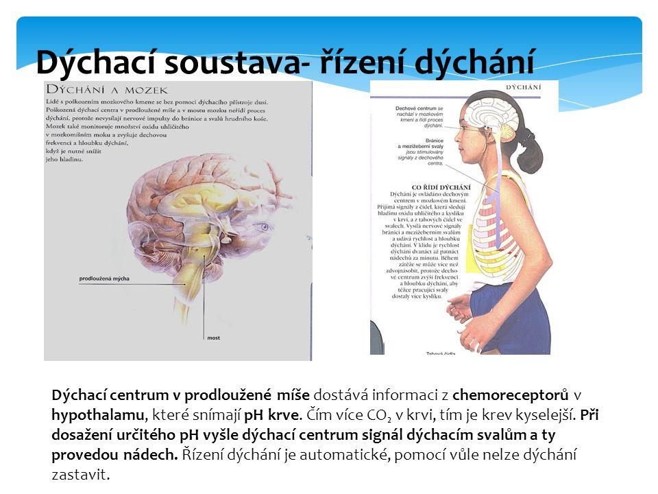 Dýchací soustava- řízení dýchání Dýchací centrum v prodloužené míše dostává informaci z chemoreceptorů v hypothalamu, které snímají pH krve. Čím více