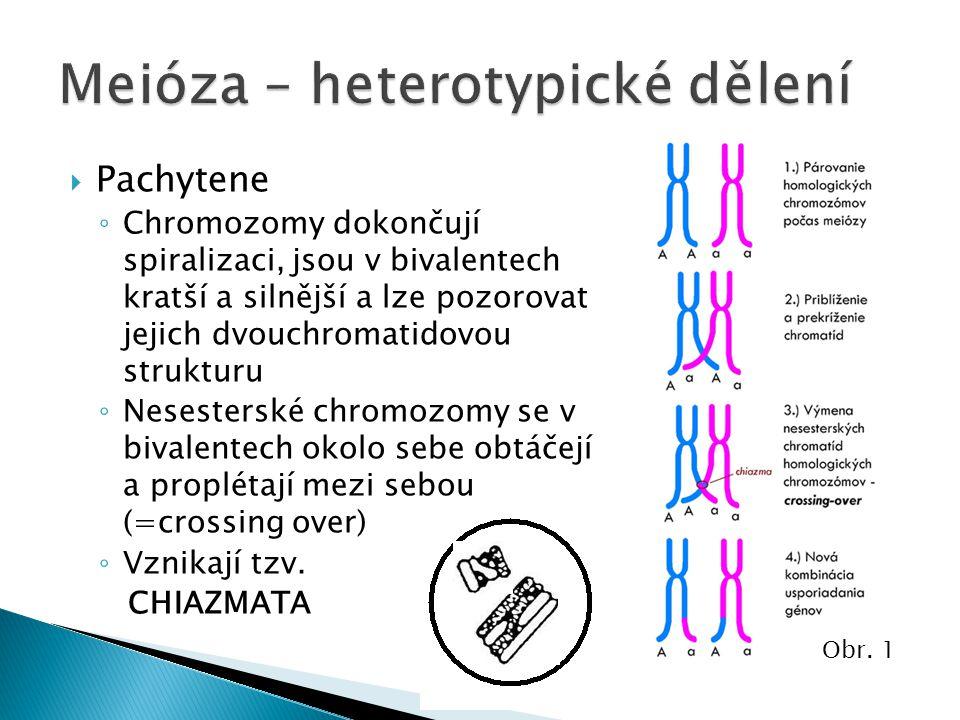  Pachytene ◦ Chromozomy dokončují spiralizaci, jsou v bivalentech kratší a silnější a lze pozorovat jejich dvouchromatidovou strukturu ◦ Nesesterské