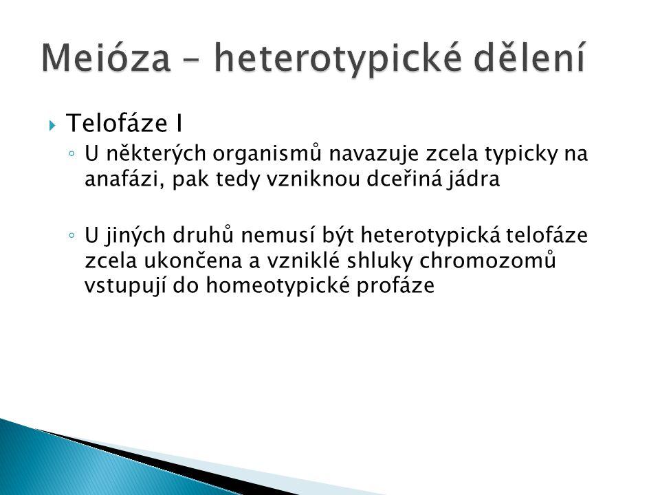  Telofáze I ◦ U některých organismů navazuje zcela typicky na anafázi, pak tedy vzniknou dceřiná jádra ◦ U jiných druhů nemusí být heterotypická telo