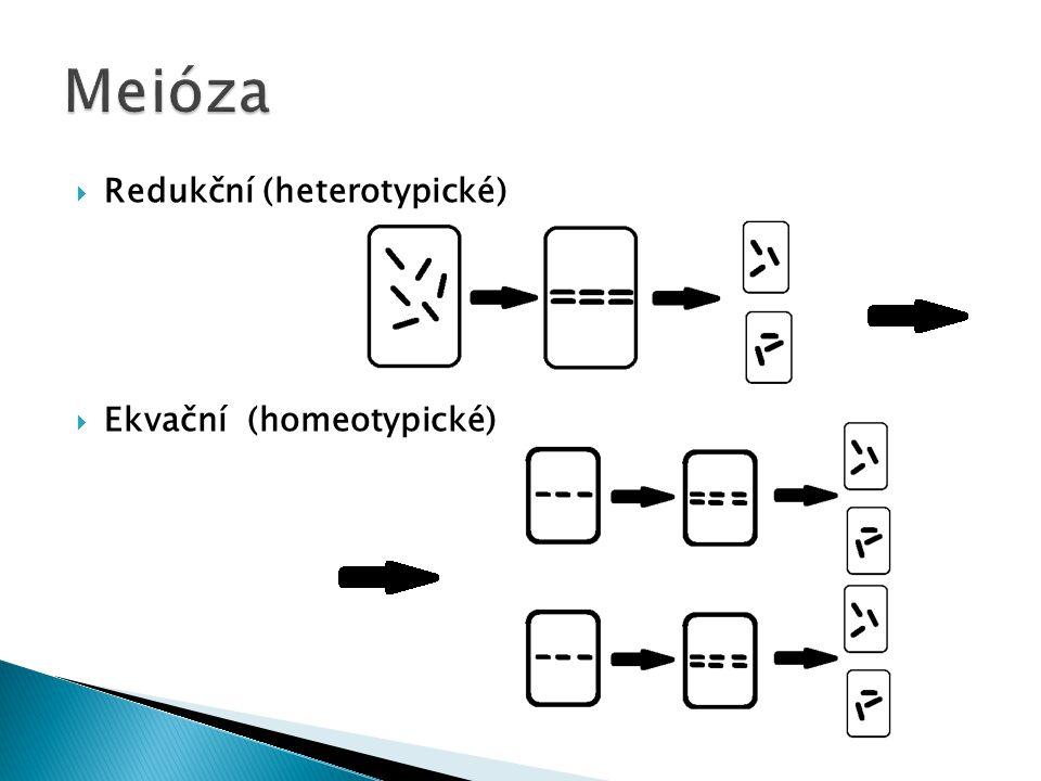  Redukční (heterotypické)  Ekvační (homeotypické)