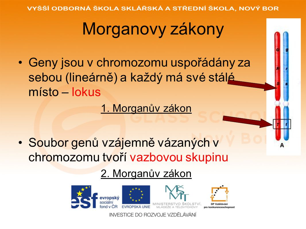 Morganovy zákony Geny jsou v chromozomu uspořádány za sebou (lineárně) a každý má své stálé místo – lokus 1.