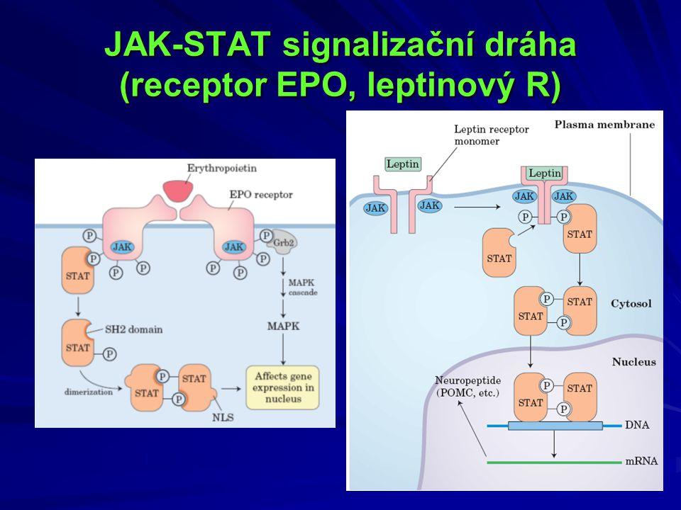 Leptin Proteinový hormon produkovaný adipocyty Kódovaný ob genem (7q31, 3 exony, 2 introny, 15 kbp) 167 aa (z toho 21 signální sekvence)  146 aa Známo 5 izoforem leptinového R-u, existuje i solubilní forma (extracelulární doména- v cirkulaci- vazebný protein pro leptin?) Jeho chybění vede k morbidní obezitě Hladiny leptinu pozitivně korelují s obsahem tuku v organizmu (↓štíhlí,  obézní)-informace o stavu tukových zásob Regulátor příjmu potravy a energetického výdeje Periferní účinky - ovlivnění inzulinové senzitivity