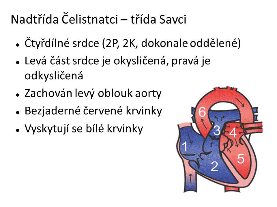 Nadtřída Čelistnatci – třída Savci Čtyřdílné srdce (2P, 2K, dokonale oddělené) Levá část srdce je okysličená, pravá je odkysličená Zachován levý oblouk aorty Bezjaderné červené krvinky Vyskytují se bílé krvinky