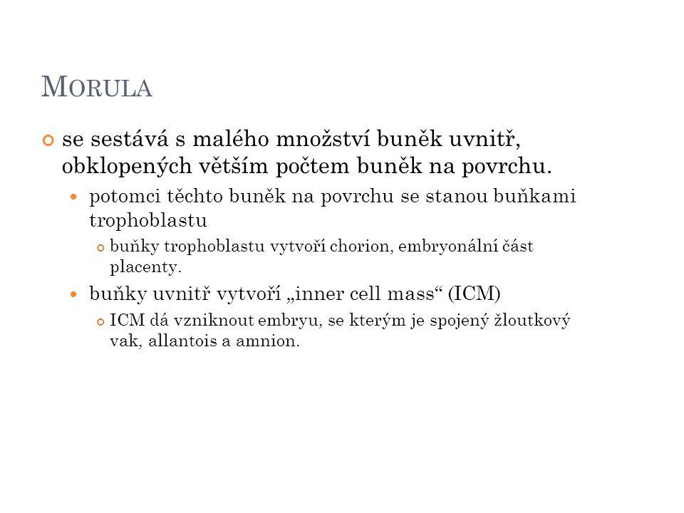 M ORULA se sestává s malého množství buněk uvnitř, obklopených větším počtem buněk na povrchu.