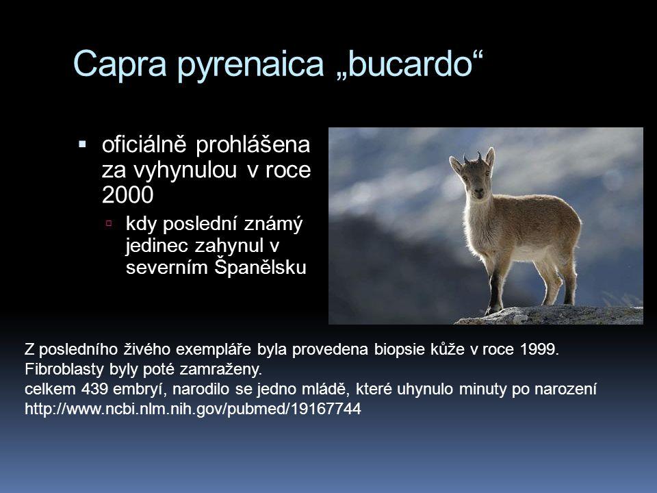"""Capra pyrenaica """"bucardo  oficiálně prohlášena za vyhynulou v roce 2000  kdy poslední známý jedinec zahynul v severním Španělsku Z posledního živého exempláře byla provedena biopsie kůže v roce 1999."""