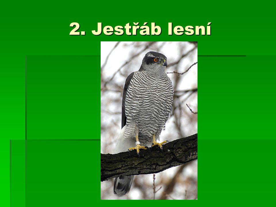2. Jestřáb lesní
