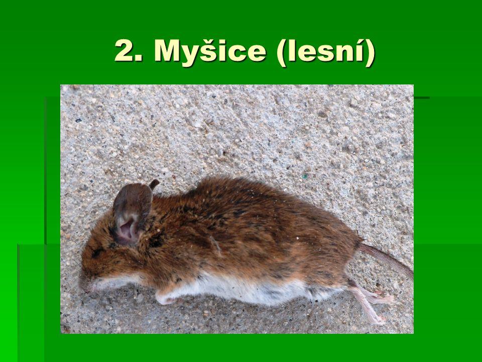 2. Myšice (lesní)