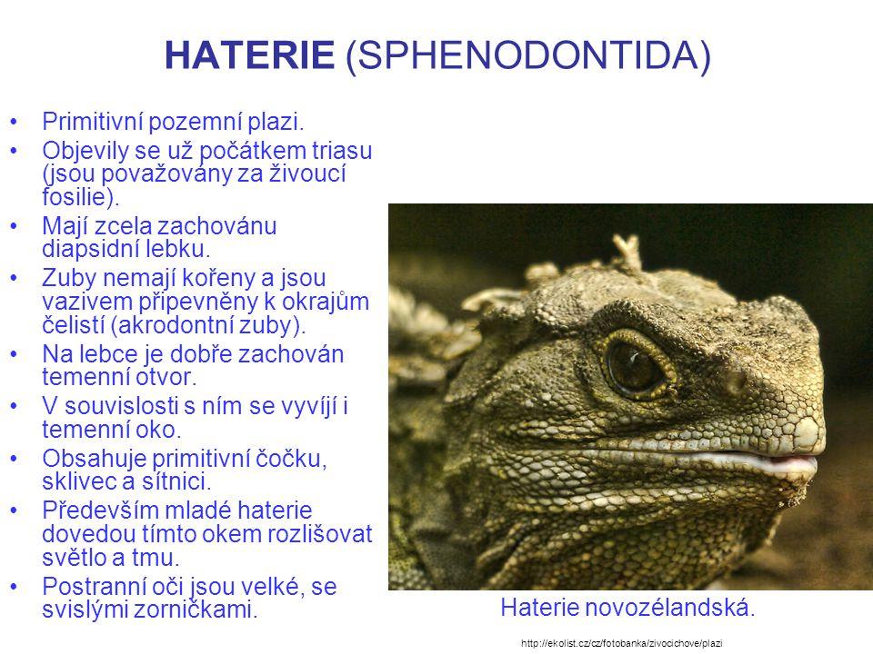 HATERIE (SPHENODONTIDA) Nemají ušní bubínek, ale slyší.