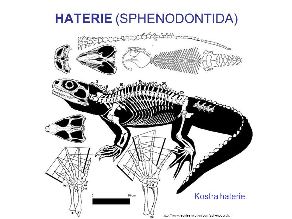 HATERIE (SPHENODONTIDA) http://www.boneclones.com/BC-028.htm Diapsidní lebka haterie.