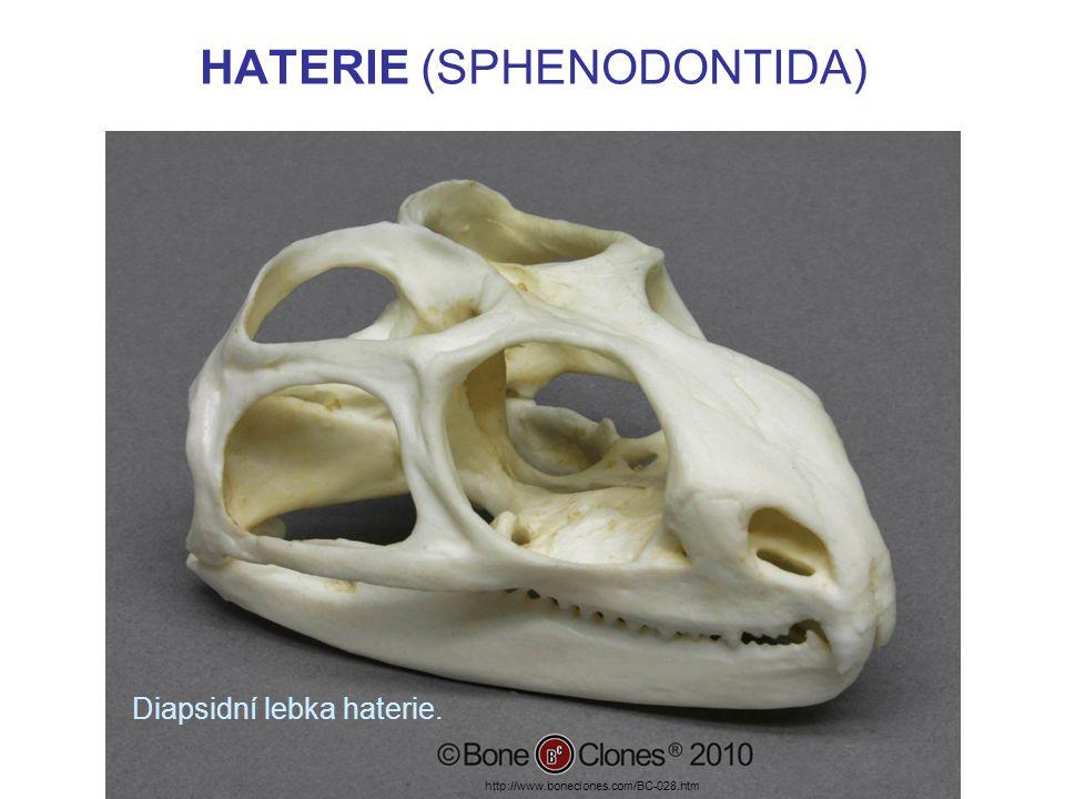 HATERIE (SPHENODONTIDA) Příklad: HATERIE NOVOZÉLANDSKÁ –Je dlouhá asi 70 cm.