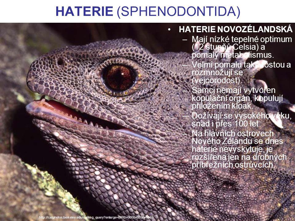 HATERIE (SPHENODONTIDA) HATERIE NOVOZÉLANDSKÁ –Mají nízké tepelné optimum (12 stupňů Celsia) a pomalý metabolismus. –Velmi pomalu také rostou a rozmno
