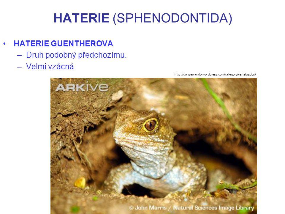 HATERIE (SPHENODONTIDA) HATERIE GUENTHEROVA –Druh podobný předchozímu. –Velmi vzácná. http://conservando.wordpress.com/category/vertebrados/