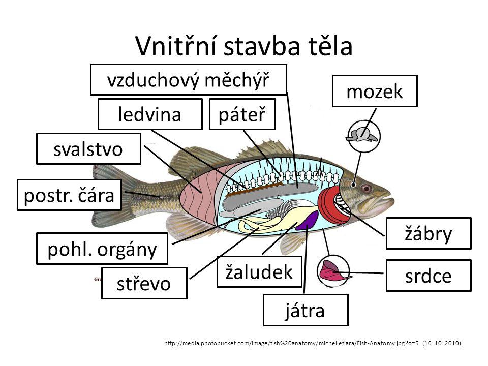 Vnitřní stavba těla http://media.photobucket.com/image/fish%20anatomy/michelletiara/Fish-Anatomy.jpg?o=5 (10. 10. 2010) mozek srdce žábry játra žalude