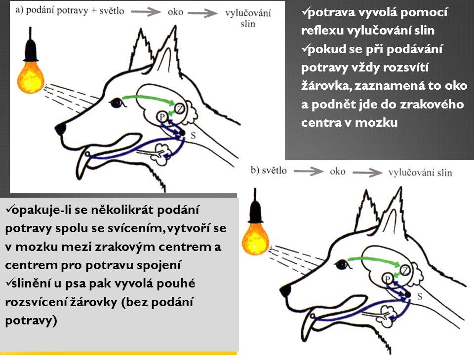 potrava vyvolá pomocí reflexu vylučování slin pokud se při podávání potravy vždy rozsvítí žárovka, zaznamená to oko a podnět jde do zrakového centra v