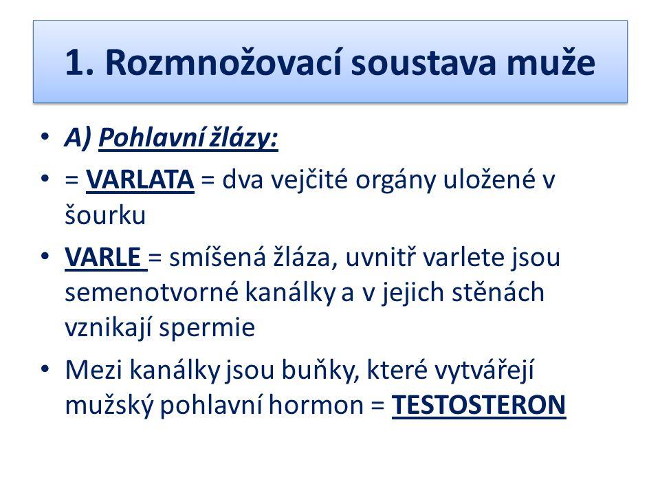 1. Rozmnožovací soustava muže A) Pohlavní žlázy: = VARLATA = dva vejčité orgány uložené v šourku VARLE = smíšená žláza, uvnitř varlete jsou semenotvor