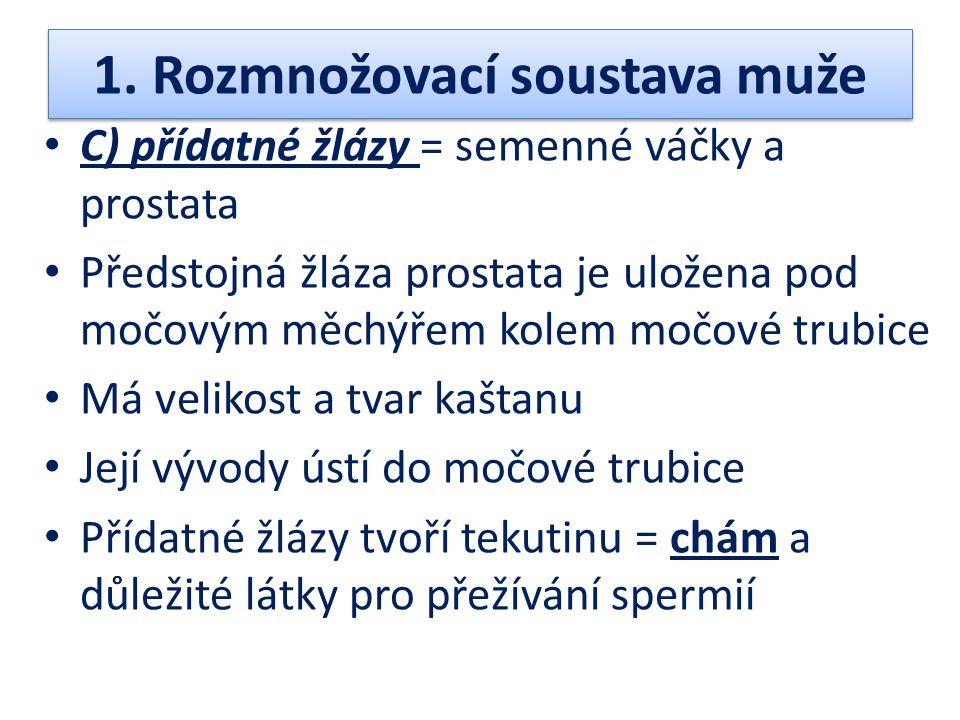 1. Rozmnožovací soustava muže C) přídatné žlázy = semenné váčky a prostata Předstojná žláza prostata je uložena pod močovým měchýřem kolem močové trub