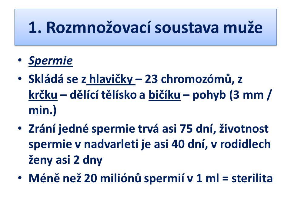 1. Rozmnožovací soustava muže Spermie Skládá se z hlavičky – 23 chromozómů, z krčku – dělící tělísko a bičíku – pohyb (3 mm / min.) Zrání jedné spermi