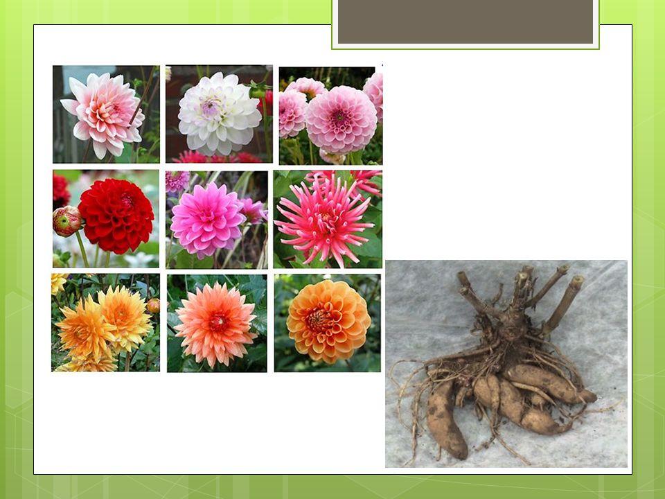 b) vzdušné kořeny – monstera, orchidej c) příchytné kořeny – břečťan, přísavník d) parazitické kořeny – jmelí