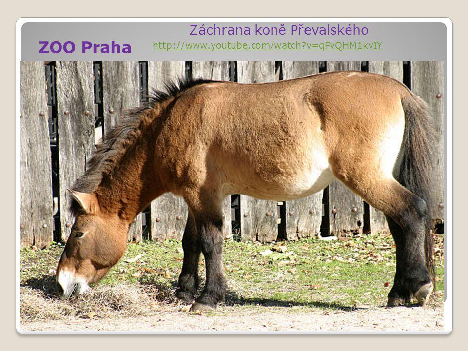 ZOO Praha Záchrana koně Převalského http://www.youtube.com/watch?v=qFvQHM1kvIY