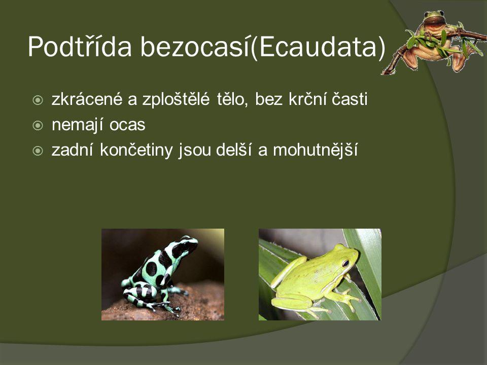 Podtřída bezocasí(Ecaudata)  zkrácené a zploštělé tělo, bez krční časti  nemají ocas  zadní končetiny jsou delší a mohutnější