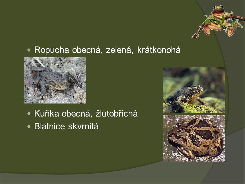 Ropucha obecná, zelená, krátkonohá Kuňka obecná, žlutobřichá Blatnice skvrnitá