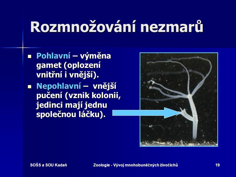 SOŠS a SOU KadaňZoologie - Vývoj mnohobuněčných živočichů18 Třída: Polypovci Nezmar zelený – žahavá ramena kolem tělní dutiny (láčky)