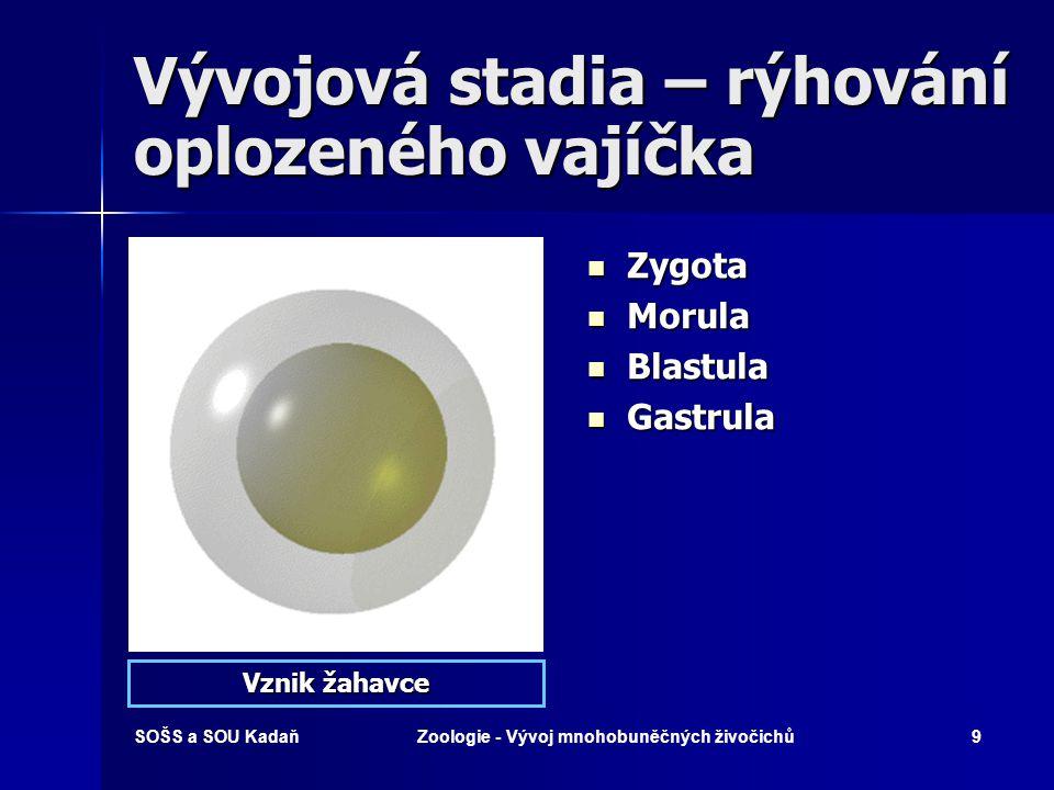 SOŠS a SOU KadaňZoologie - Vývoj mnohobuněčných živočichů8 Rýhování oplozeného vajíčka A – zygota B – mitóza (2 nové buňky s 2n chromozómů) C – mitóza (4 nové buňky) D, E – morula F – blastula