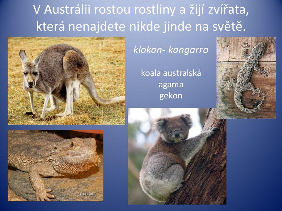 V Austrálii rostou rostliny a žijí zvířata, která nenajdete nikde jinde na světě. klokan- kangarro koala australská agama gekon