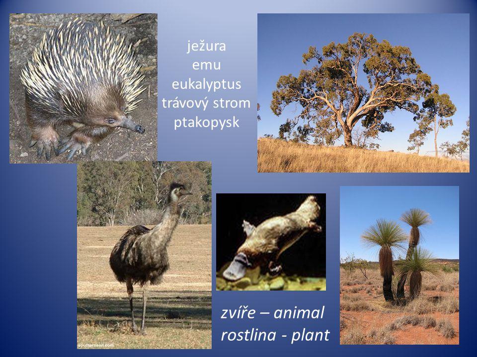 ježura emu eukalyptus trávový strom ptakopysk zvíře – animal rostlina - plant