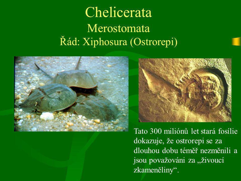 Chelicerata Merostomata Řád: Xiphosura (Ostrorepi) Tato 300 miliónů let stará fosílie dokazuje, že ostrorepi se za dlouhou dobu téměř nezměnili a jsou