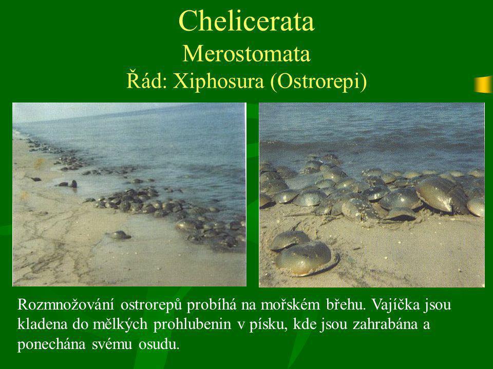 Chelicerata Merostomata Řád: Xiphosura (Ostrorepi) Rozmnožování ostrorepů probíhá na mořském břehu. Vajíčka jsou kladena do mělkých prohlubenin v písk