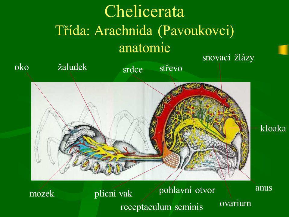 Chelicerata Třída: Arachnida (Pavoukovci) anatomie ovarium srdce anus plicní vak žaludek střevo kloaka receptaculum seminis pohlavní otvor snovací žlá
