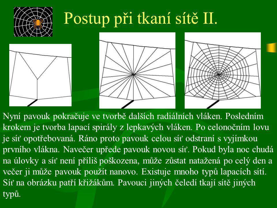 Postup při tkaní sítě II. Nyní pavouk pokračuje ve tvorbě dalších radiálních vláken. Posledním krokem je tvorba lapací spirály z lepkavých vláken. Po