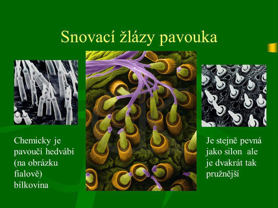 Snovací žlázy pavouka Chemicky je pavoučí hedvábí (na obrázku fialově) bílkovina Je stejně pevná jako silon ale je dvakrát tak pružnější