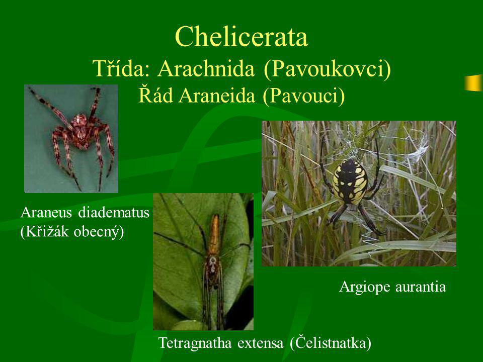Chelicerata Třída: Arachnida (Pavoukovci) Řád Araneida (Pavouci) Araneus diadematus (Křižák obecný) Argiope aurantia Tetragnatha extensa (Čelistnatka)