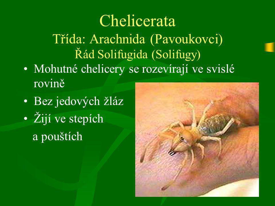 Chelicerata Třída: Arachnida (Pavoukovci) Řád Solifugida (Solifugy) Mohutné chelicery se rozevírají ve svislé rovině Bez jedových žláz Žijí ve stepích