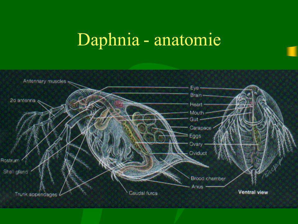 Daphnia - anatomie