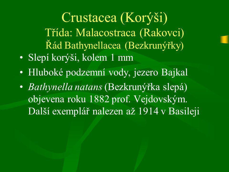 Crustacea (Korýši) Třída: Malacostraca (Rakovci) Řád Bathynellacea (Bezkrunýřky) Slepí korýši, kolem 1 mm Hluboké podzemní vody, jezero Bajkal Bathyne