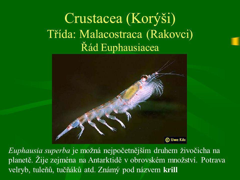 Crustacea (Korýši) Třída: Malacostraca (Rakovci) Řád Euphausiacea Euphausia superba je možná nejpočetnějším druhem živočicha na planetě. Žije zejména