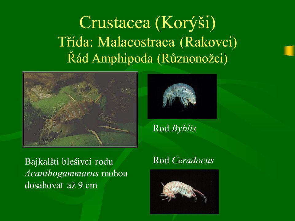 Crustacea (Korýši) Třída: Malacostraca (Rakovci) Řád Amphipoda (Různonožci) Bajkalští blešivci rodu Acanthogammarus mohou dosahovat až 9 cm Rod Byblis